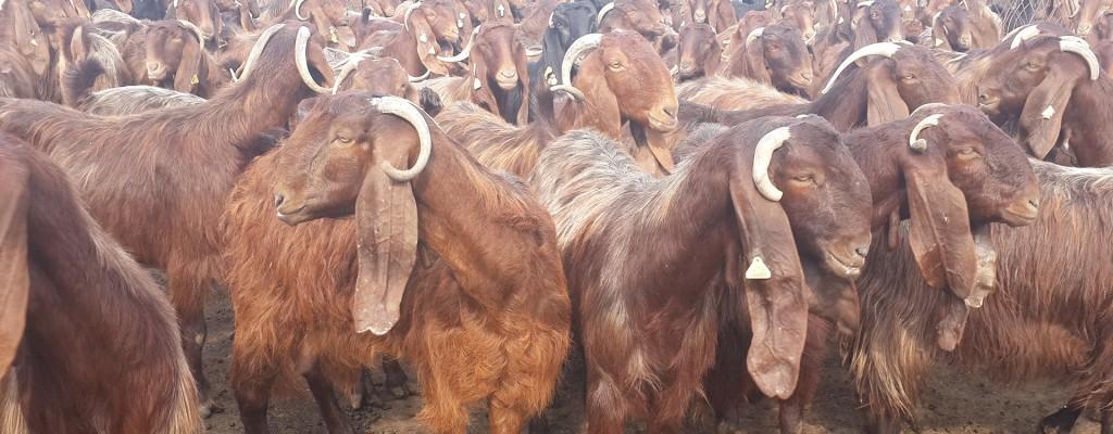 goats ICG 2016