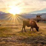 livestock-2-133306793