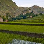 paddy-rice-3-115837697