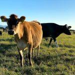 NZ Cow
